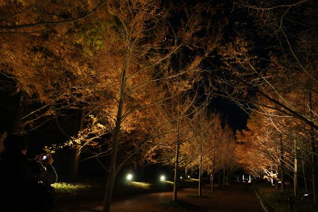 Photos: メタセコイヤ並木 ライトアップ_03