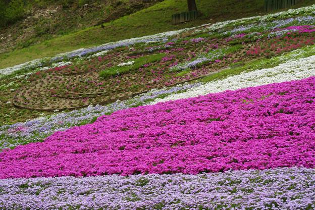 芝桜のさっちゃん