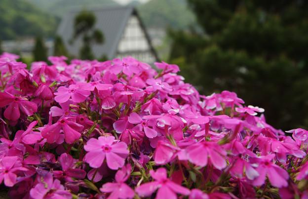 芝桜と夢鮮館
