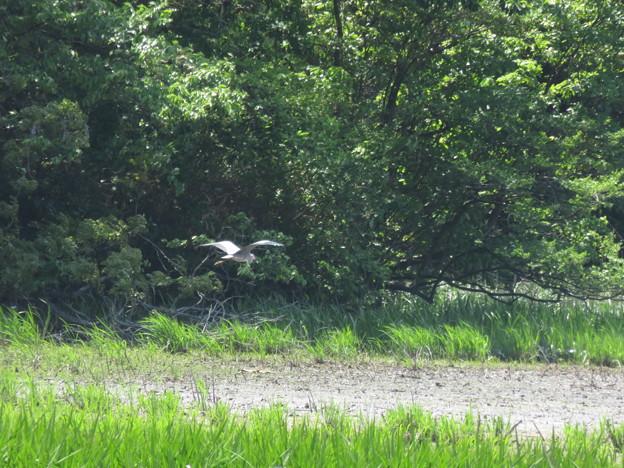鴨池の野鳥を撮影_02