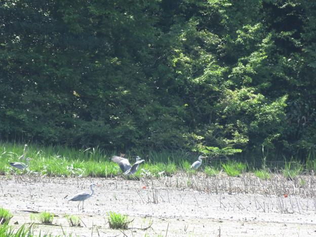 鴨池の野鳥を撮影_03