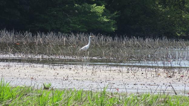 鴨池の野鳥を撮影_04