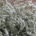 咲き乱れるユキヤナギ_01