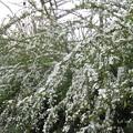 咲き乱れるユキヤナギ_02