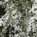 咲き乱れるユキヤナギ_03