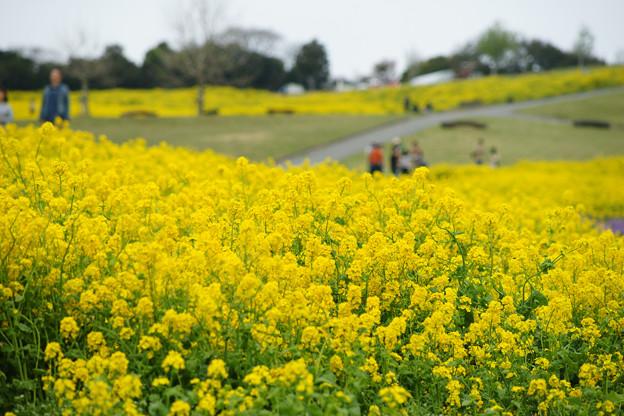 花さじき 一面の菜の花_05