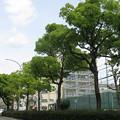 新緑の街路樹_01