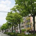 Photos: 新緑の街路樹_02