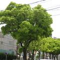 新緑の街路樹_03