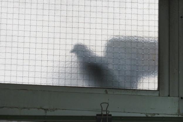 Photos: 鳩が窓際に_02