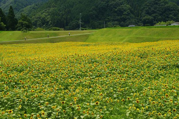 佐用漆野・段 ひまわり畑_07