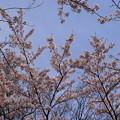 写真: さくら園の桜_01
