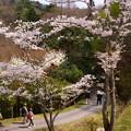 写真: さくら園の桜_02