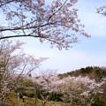 写真: さくら園の桜_03