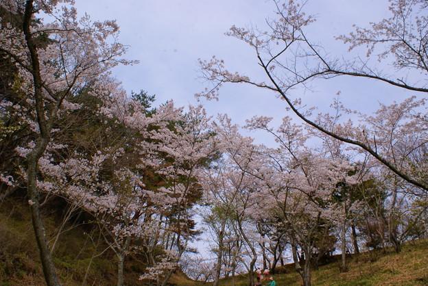 写真: さくら園の桜_04