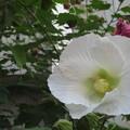 芙蓉の花咲く_01