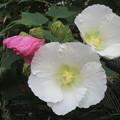 芙蓉の花咲く_02