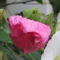 芙蓉の花咲く_04