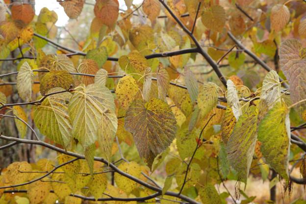 ハンカチの木の紅葉