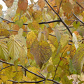 Photos: ハンカチの木の紅葉