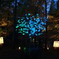 Photos: 森林植物園 ライトアップ_05
