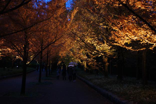 メタセコイヤ並木を歩く_03