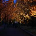 Photos: メタセコイヤ並木を歩く_03