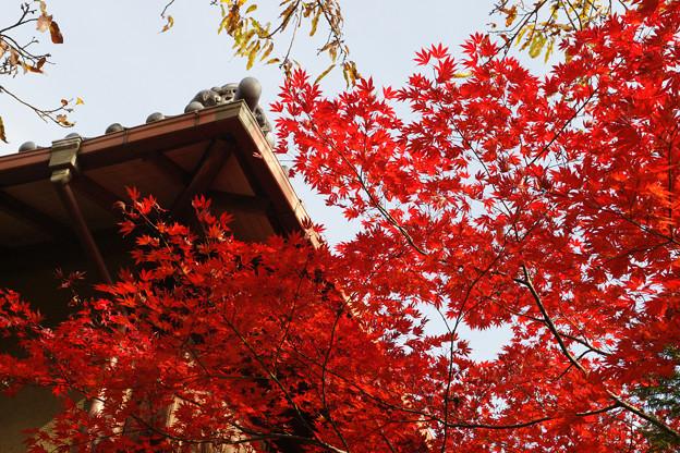 小倉池 脇の紅葉