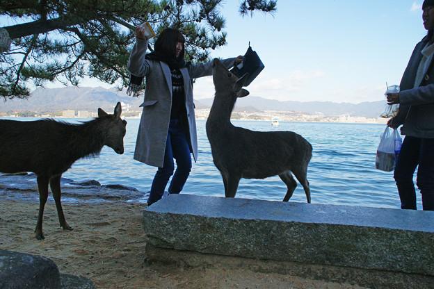 宮島の鹿とたわむれる_01