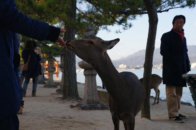 宮島の鹿とたわむれる_02