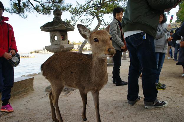 宮島の鹿とたわむれる_03
