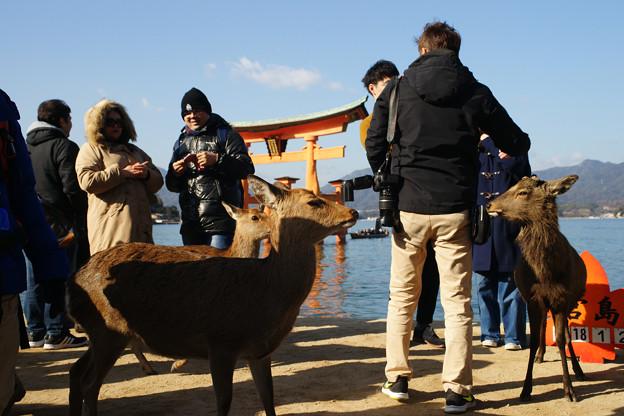 宮島の鹿とたわむれる_04
