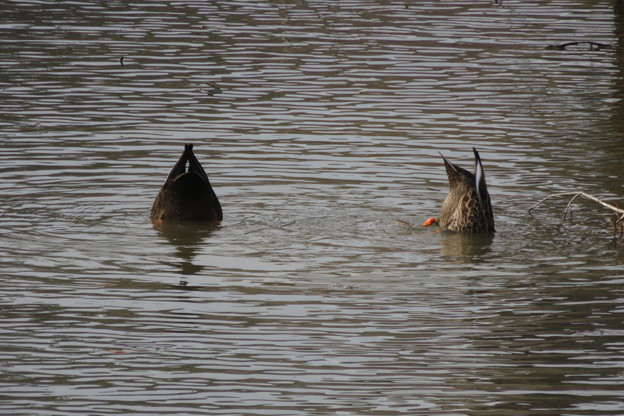 長谷池のカモたち_03