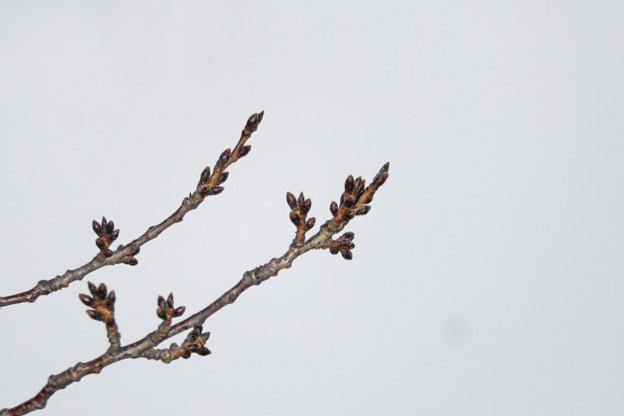 写真: 桜のつぼみ_03