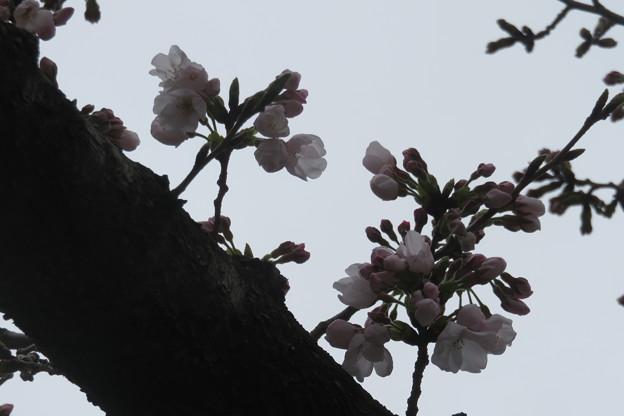 兵庫中学 桜咲く_03