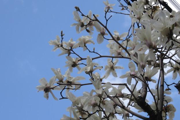モダン寺横のモクレン咲く_03
