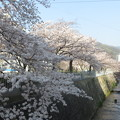 写真: 宇治川の桜_05