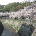 写真: 宇治川の桜_06