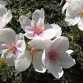 写真: 宇治川の桜 アップ_01