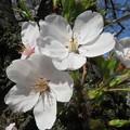 写真: 宇治川の桜 アップ_02