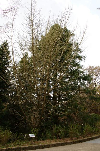銀杏の立木