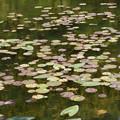 写真: 池の水草
