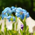 写真: ヒマラヤの青いケシ_01