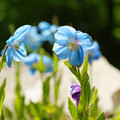Photos: ヒマラヤの青いケシ_01