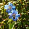 写真: ヒマラヤの青いケシ_02