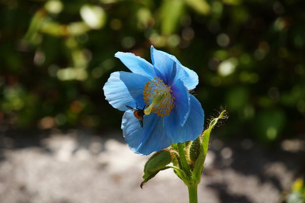 ヒマラヤの青いケシ_03