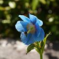 写真: ヒマラヤの青いケシ_03
