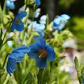 写真: ヒマラヤの青いケシ_04