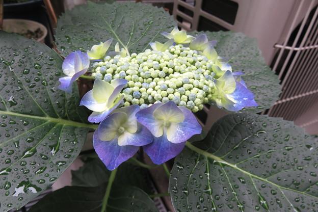 写真: ご近所の紫陽花_01