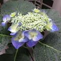 ご近所の紫陽花_01
